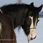 El Zaahir Arabians