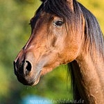 El Hamaal Arabians