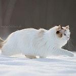 Schneekätzchen