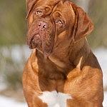 Bordeaux Dogge Ursel