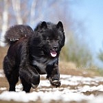 Eurasier Dschingis