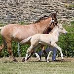 Kaltblut, Haflinger, Fjordpferd