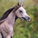 El Samoa Arabians