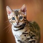 Bengalen Kitten