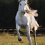Spanier Aquiles