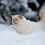 Ragdolls im Schnee