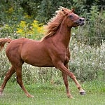 El Dalima Arabians