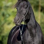 Matari Arabians – Sexy Sadie