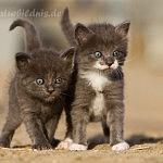 6 kleine Waldkatzenbabys
