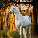 Anjar Arabians