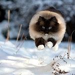 Schneekatzen