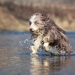 Bearded Collie Micki