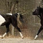 Matari Arabians