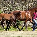 Dt. Sportpferd – Stutfohlen
