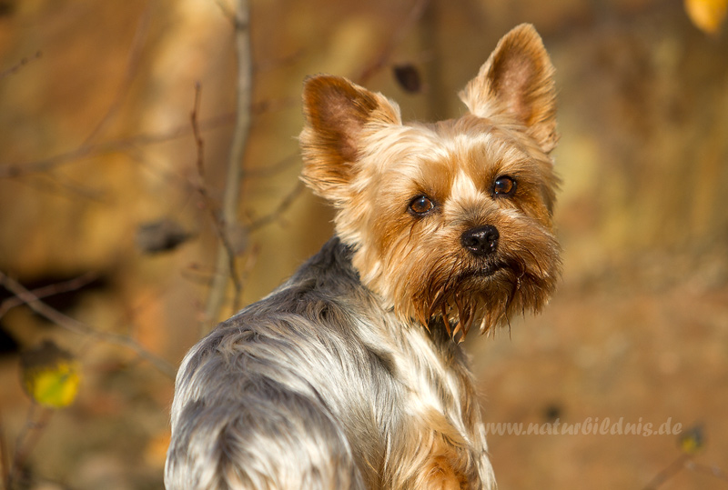 Yorkshire Terrier Spike
