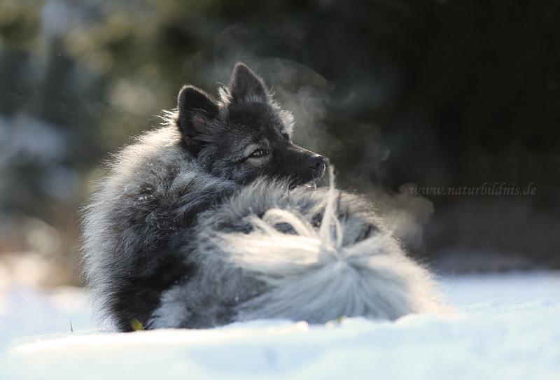 Wolfsspitz Nelly