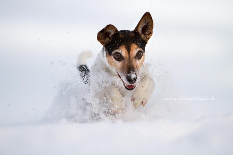 Jack Russel Terrier Henna