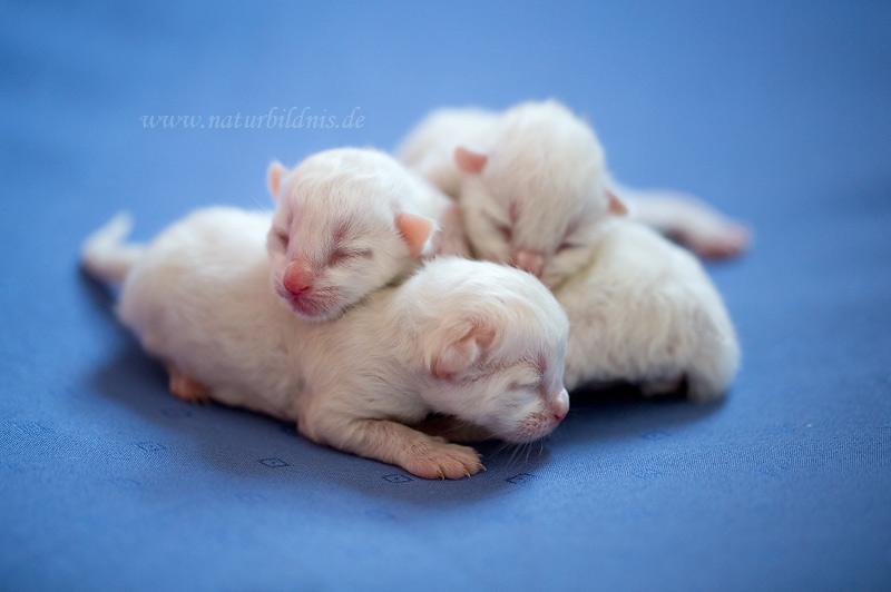 Ragdoll Babys