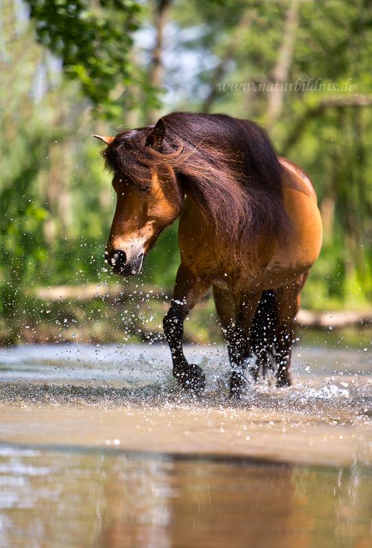 Pony im Wasser