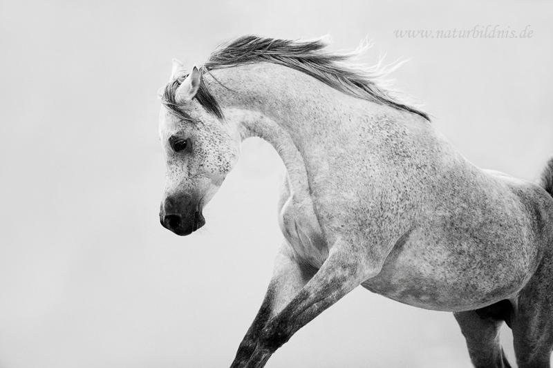 Al Shama Arabians