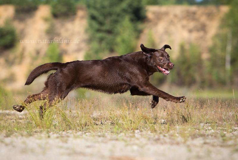 Labrador Ruby