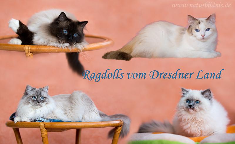 Ragdolls vom Dresdner Land